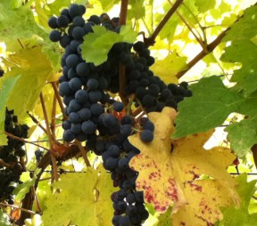 Cabernet Sauvignon at Home in the Southern Okanagan Valley