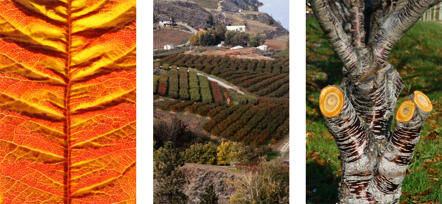 left to right: Cherry leaf, Orchard slopes, Chopped cherry tree